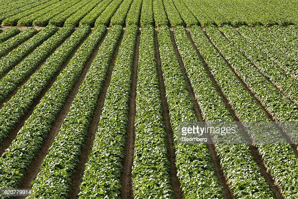 Daikon radish plants grow in a field in Tatsuno Hyogo Prefecture Japan on Wednesday Nov 2 2016 Unusually poor weather in western Japan and a rise in...