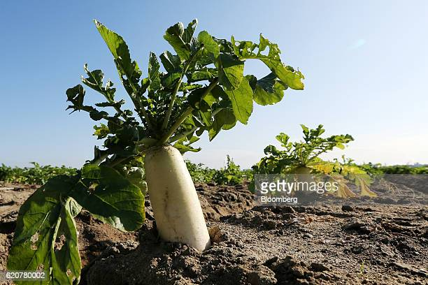 Daikon radishes sit in the soil of a field in Tatsuno Hyogo Prefecture Japan on Wednesday Nov 2 2016 Unusually poor weather in western Japan and a...