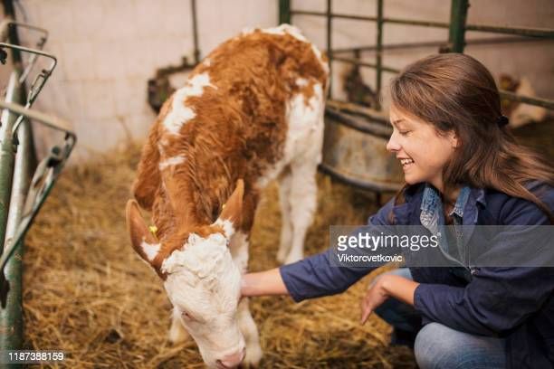 daily job at cattle ranch - herbivorous stock pictures, royalty-free photos & images