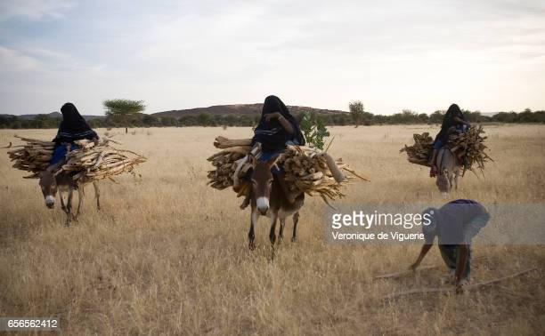 Daily life amongst the Tamashek people The women are tasked with gathering firewood