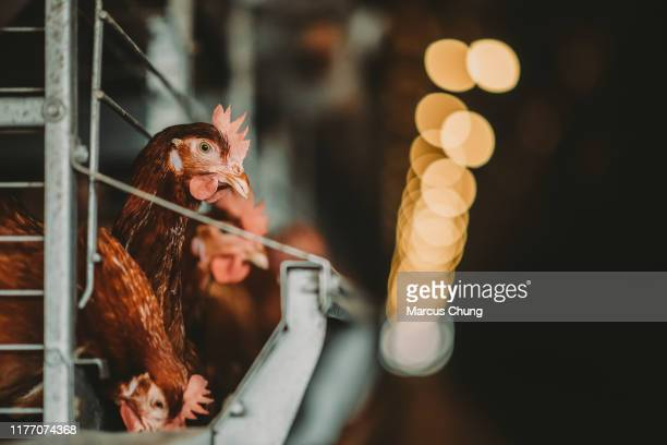 daily life of chickens in the cage - cage stock pictures, royalty-free photos & images