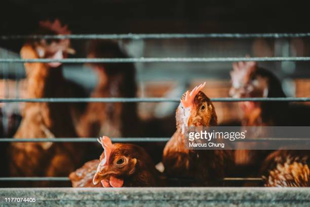 daily life of chickens in the cage - livestock stock pictures, royalty-free photos & images