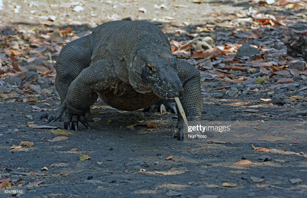 Daily Life of Komodo Dragon in Indonesia : News Photo