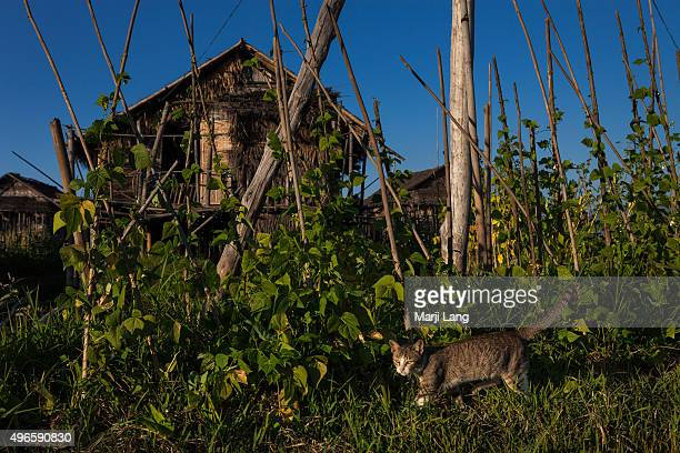 Daily life scene of a cat in the floating village of Maing Thauk, by the Inle lake. Shan state, Myanmar .