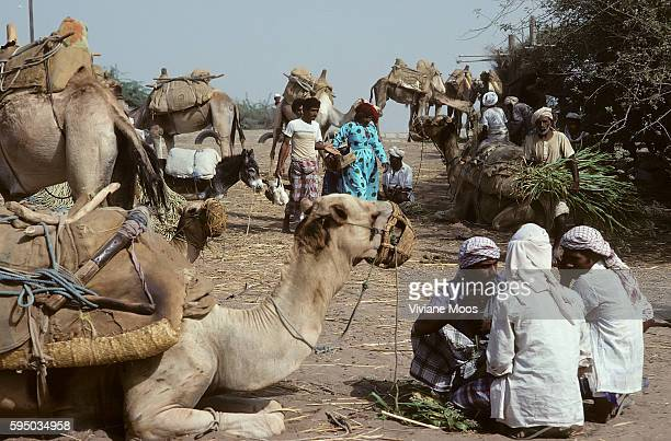 Daily life Traders with their donkeys and dromedaries at the famous Friday country market of Bayt alFaqihis a city in Al Hudaydah Governorate Located...