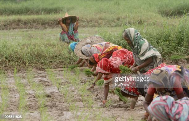 Daily wage women labourers replant paddy saplings at an agricultural paddy field after the monsoon downpour outskirts of the eastern Indian state...