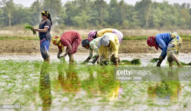 Daily wagers plant paddy seedlings in the field nearby the village Verka on June 14 2017 on the outskirts of Amritsar India Punjab has been...