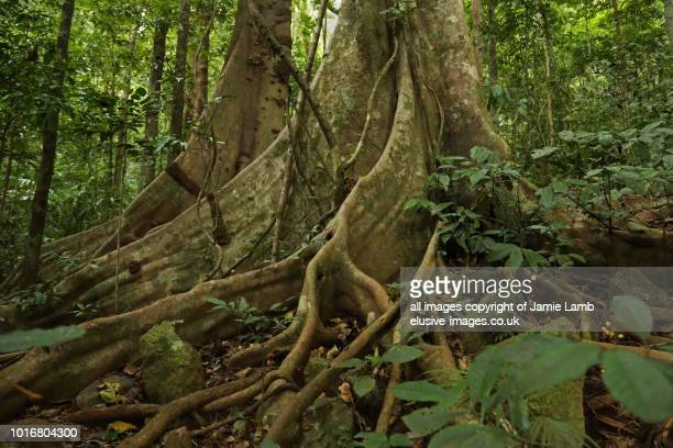 daintree rainforest tree scene and buttress roots - queensland stock-fotos und bilder