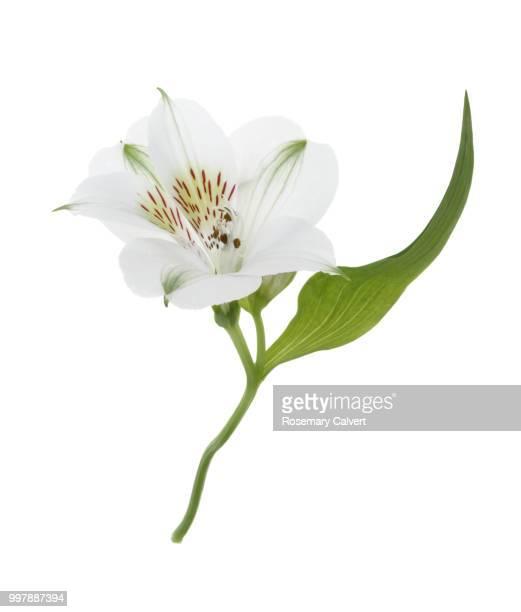 Dainty Alstroemeria flower & leaf on white.