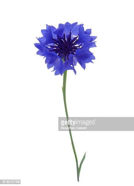Dainty blue cornflower on white.