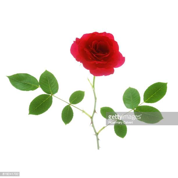 Dainty fragrant, red rose with leaves on white.