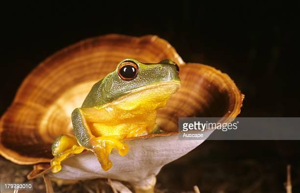Dainty green tree frog Litoria gracilenta in cup of fungus Cedar Creek Brisbane Queensland Australia