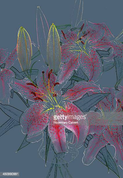 dainty lilies on blue grey. - stargazer lily stock photos and pictures
