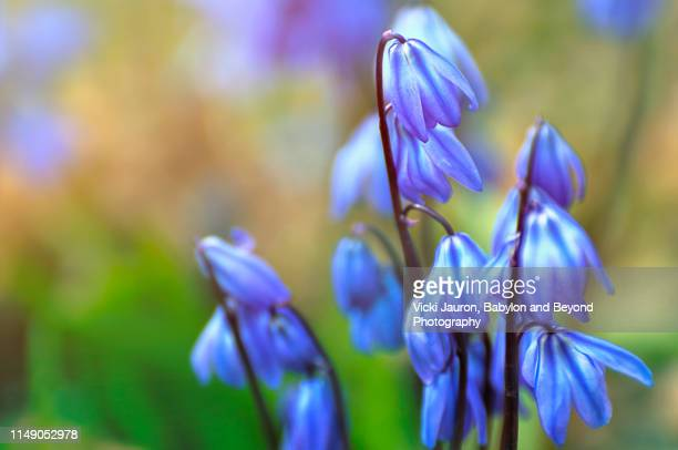 dainty little bluebells bring joy in the spring garden - bluebell stock pictures, royalty-free photos & images