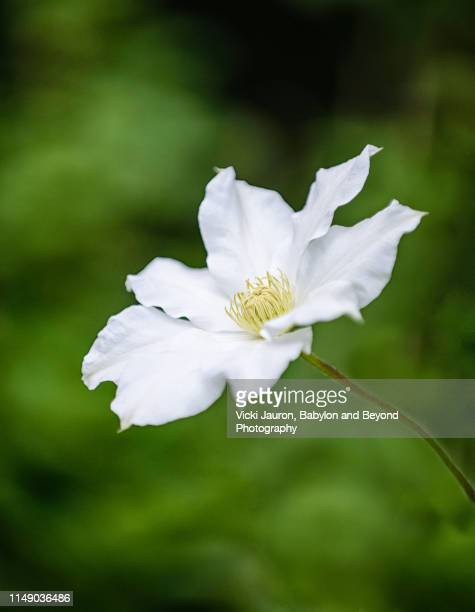 dainty white clematis bloom against soft green - east hampton stock pictures, royalty-free photos & images