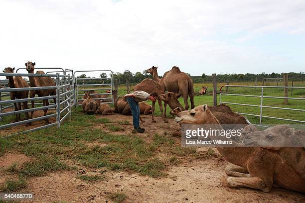 Dairy assistant Emerson Tasker greets camels during a morning milking session at QCamel dairy on April 5 2016 on the Sunshine Coast Australia QCamel...