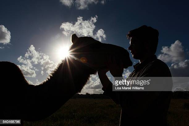 Dairy assistant Kris Scott greets a camel as he prepares the night feeds at QCamel dairy on April 6 2016 in Sunshine Coast Australia QCamel founded...
