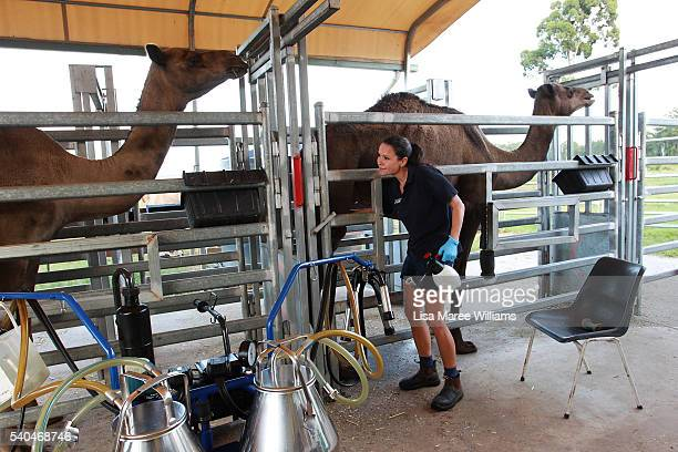Dairy assistant Sherrie Garcia works with the camels during a morning milking session at QCamel dairy on April 5 2016 on the Sunshine Coast Australia...