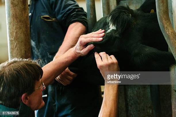 Dairy cattle eye check