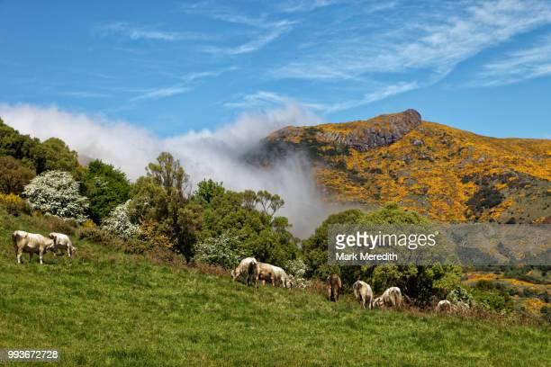 Dairy cattle grazing on hills above Akaroa
