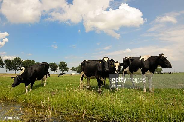 dairy cattle in meadow