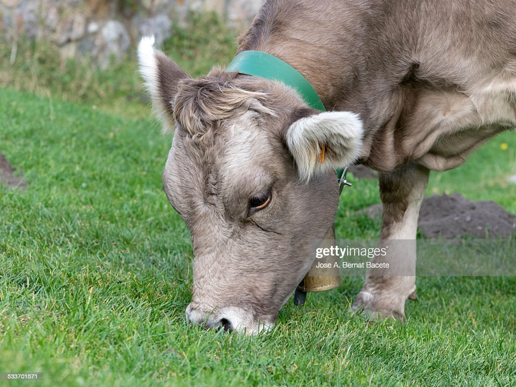 Dairy cow eating natural grass : Foto stock