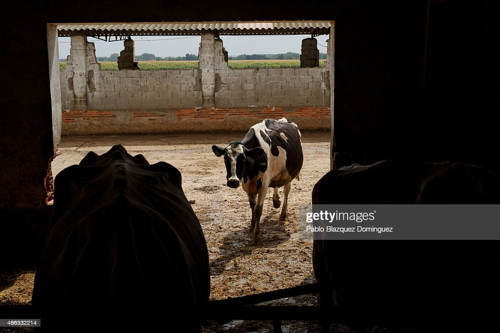 A dairy cow enters a room to eat cattle feed at Santa Maria de la Vega farm on August 31, 2015 in Toro, near Zamora, in Spain. Many farmers are losing money from the production of milk due to falling prices and cheap foreign imports. Dairy farmers are being forced out of business as they face problems with access to a salary and difficulties paying suppliers of food, mechanical and veterinary services, despite long working hours. At least 500 farmers are expected to take part in a protest march that started in Leon and will arrive in Madrid on September 4, where they will demonstrate outside the ministry of agriculture.