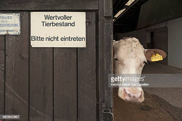 Dairy cow looking out of a barn, left sign wertvoller Tierbestand, German for valuable livestock, Bavaria, Germany