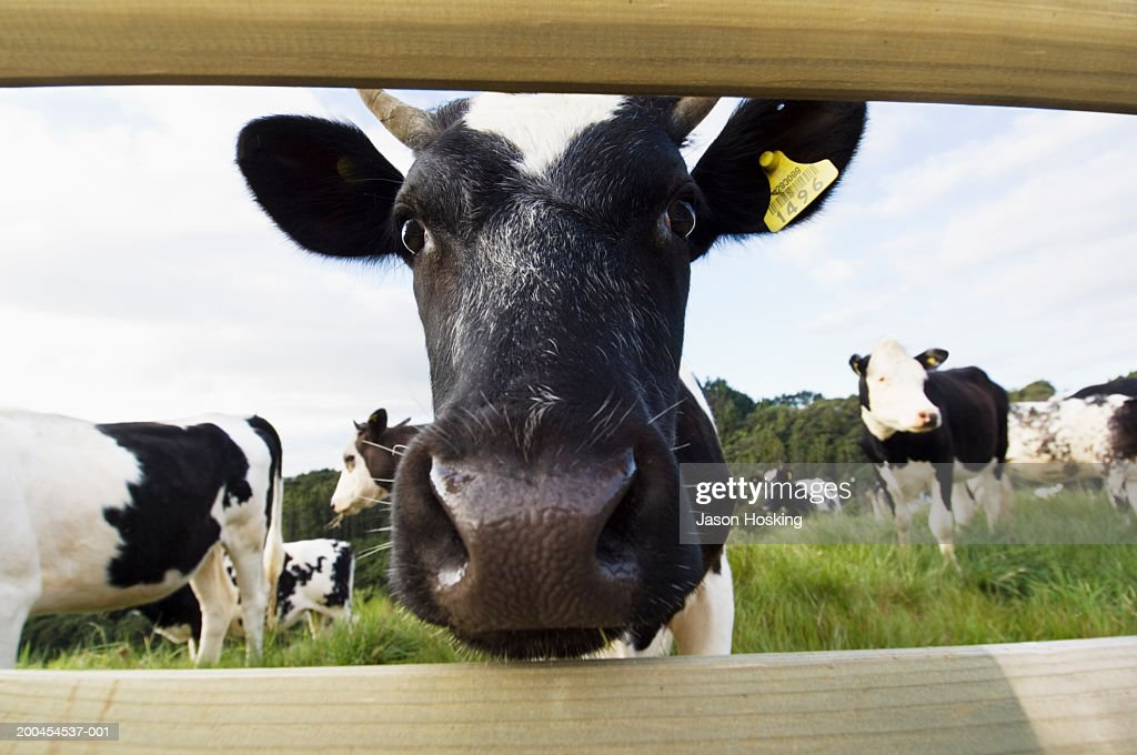 Dairy cow looking through wooden fence (wide angle) : Stock Photo