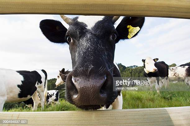 Dairy cow looking through wooden fence (wide angle)