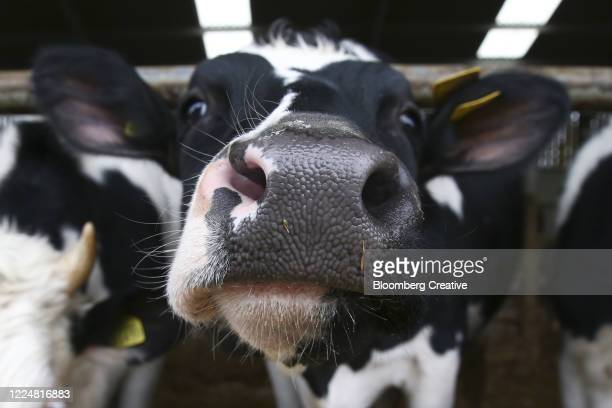 a dairy cow on a farm - tongue stock pictures, royalty-free photos & images