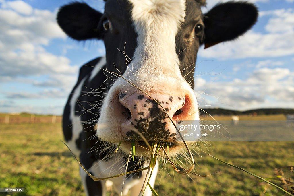 Dairy Cow : Stock Photo