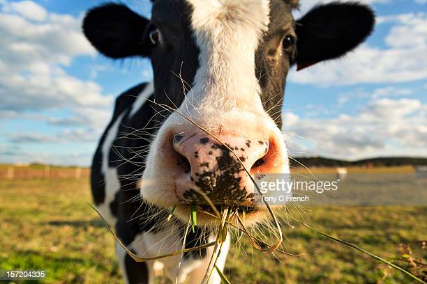 dairy cow - livestock stock pictures, royalty-free photos & images