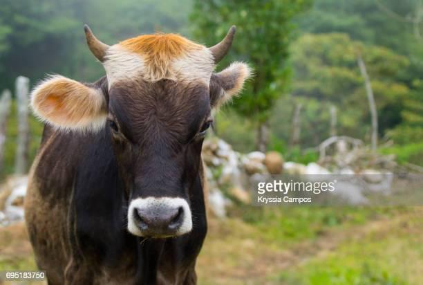 Dairy Cow Portrait, copy space