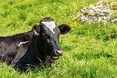 cow black white heifer resting green