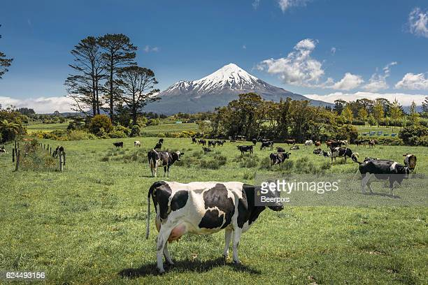Dairy cows and mount Taranaki, New Zealand.