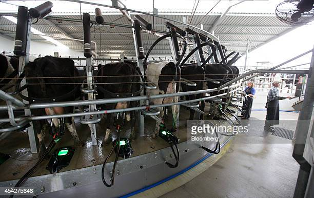 Dairy cows are milked in a rotary milking parlor at a farm near Hamilton New Zealand on Thursday Aug 21 2014 Fonterra Cooperative Group Ltd the...