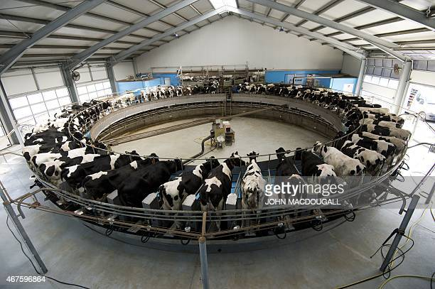Dairy cows are milked on a rotating milking carrousel at the Heideland dairy farm in Kemberg some 100km south of Berlin on March 23 2015 The farm...