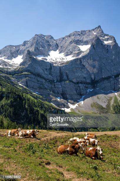 dairy cows at eng alm and karwendel mountain range - karwendel mountains stock pictures, royalty-free photos & images