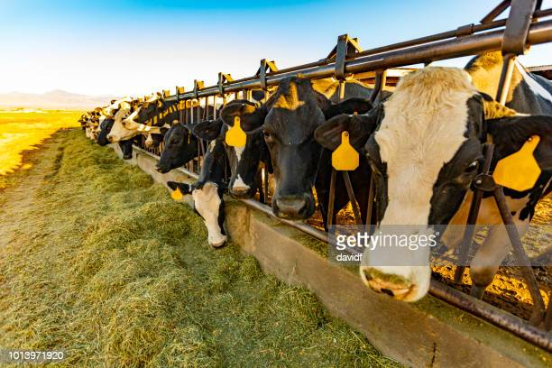 dairy cows being fed hay on a farm - trough stock photos and pictures