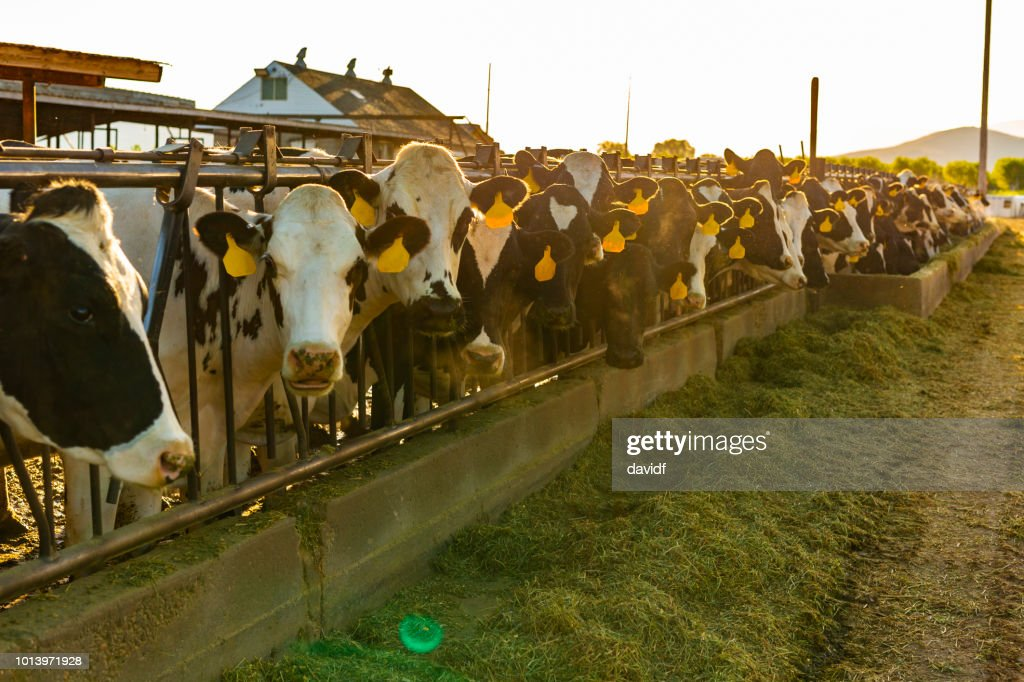 Dairy Cows Being Fed Hay on a Farm : Stock Photo