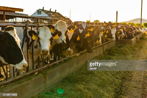 Dairy Cows Being Fed Hay on a Farm