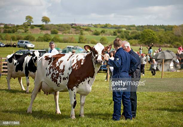 Dairy cows class at Dalry Farmers' Show 2010