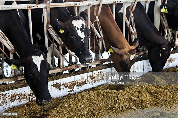 Dairy cows eat in a cattle feed shed at the Sapphire Dairies Ltd farm operated by Sapphire Group in the Manga area of Lahore Pakistan on Saturday Aug...