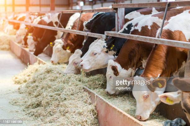 dairy cows feeding in a free livestock stall - grazing stock pictures, royalty-free photos & images