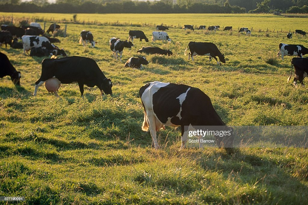 Dairy cows grazing : Stock-Foto