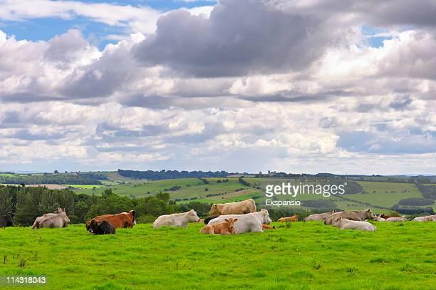 乳製品牛英語で夏の田園地帯 - 休耕田 ストックフォトと画像