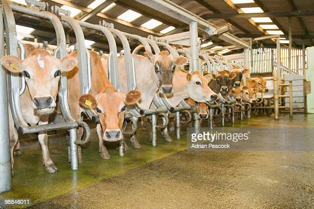 Dairy cows in milking stalls