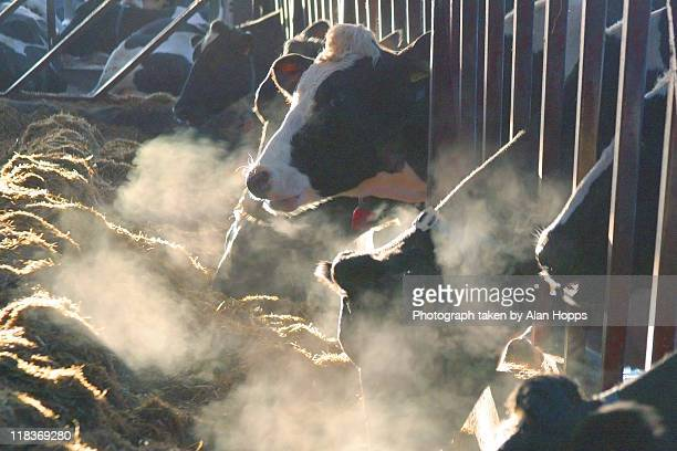 Dairy cows in winter cold