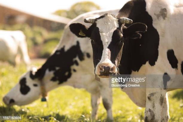 dairy cows on a farm - beef stock pictures, royalty-free photos & images